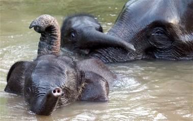 Sumatran-elephant